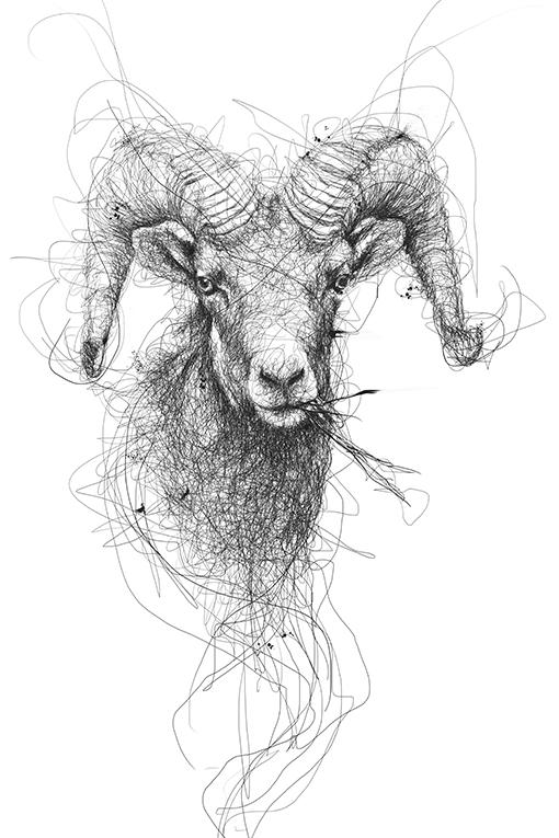 rocky mountain sheep 2